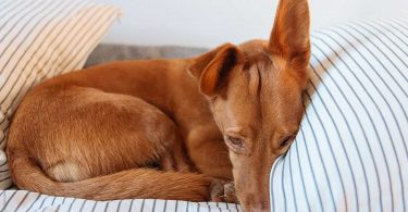 fanconi syndrome in dogs